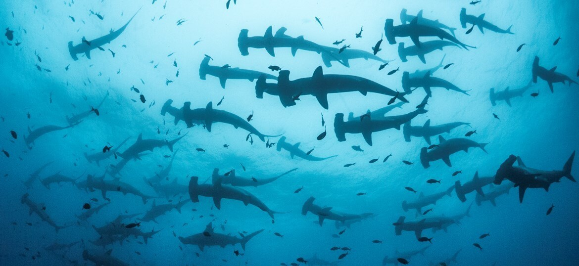 Make a donation to GCT's Shark Conservation Programme